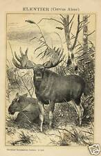 1883= ALCE = Animali = Antica Stampa = Old ENGRAVING = Deer