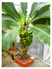 200 Pcs Seeds Banana Bonsai Dwarf Fruit Trees Perennial Plants Garden 2019 Rare
