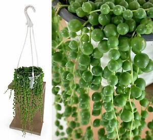 Zimmerpflanze Senecio Rowleyanus PERLENSCHNUR Perlenkette