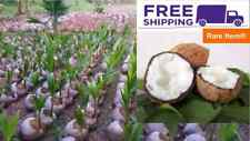 1 Rare Milk Creamed Coconut Seed With Shoots Tropical Fruit juice Fagrance Tree