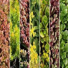 Sedum Mix Succulent Seeds (Roof Garden Mix) 100+Seeds