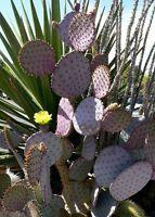 Opuntia Santa Rita - Violett KAKTUSFEIGE - Samen
