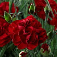 3 x DIANTHUS 'PASSION' Intense Red Double Flowers - PLUG PLANT