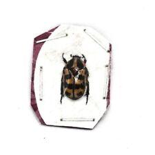 Insect Beetles Scarabaeidae Pachnoda sp Senegal