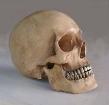 reproduction crane humain en  résine , human skull replica