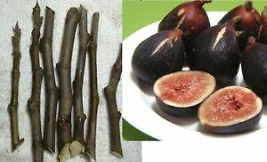 6 CUTTINGS Black Madeira LIVE fig tree Figo Preto Ficus carica Pingo de mel