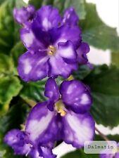 African Violet Dalmatin - Starter Plant/Plug