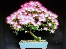 Mimosa Seeds (Albizia Julibrissi) Exotic Bonzai Tree Seeds - 25 Seeds