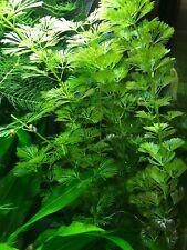 Purple Cabomba (Cabomba pulcherrima) - Buy3Get1Free - Live Aquarium Plant