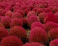 KOCHIA falso ciprés , bassia scoparia 200 semillas frescas