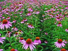Equinácea Echinacea purpurea planta medicinal 100 semillas