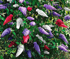 BUTTERFLY BUSH MIXED COLORS Buddleia Davidii - 20 Seeds