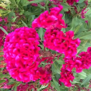 100 Plumed Celosia Crested Cockscomb Seeds for 2021 Beautiful Garden Flowers