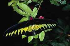 720025 Rajah Brooke's Male Birdwing Malaysia A4 Photo Print