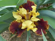 tall bearded iris Rr AreoRecc