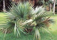 Blätter wie Fächer: Sabal-Minor-Palme super frosthart !