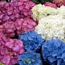 3 x Hydrangea - Popular Named Varieties, Hardy Deciduous, Plant in 9cm Pot