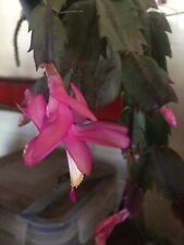 Schlumbergera Truncata Christmas Cactus Dark Pink Fresh 3leaf Cutting