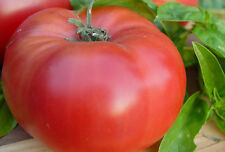 100 BRANDYWINE RED TOMATO SEEDS, HEIRLOOM, + FREE GIFT!