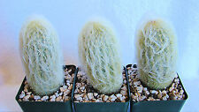 Espostoa Lanata Cactus Ecuador - Peru Aprx. 3 T0 5 Inches Tall