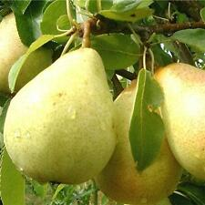 Fresh Pears 1/2 oz Premium Scented Burning Oil by Living Aroma #2