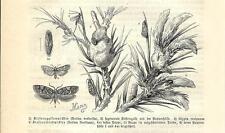 Stampa antica FARFALLE Retina resinella BUTTERFLIES 1891 Old antique print