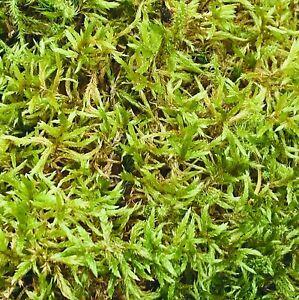 100% Fresh Sphagnum Variety Moss 500g  - Natural Welsh Moss
