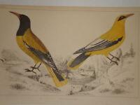 C1850 Goldsmith Cuvier Estampado Orioles Negro Cabeza / Cheek