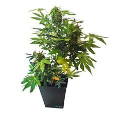 DecoBudz Kush Artificial Cannabis Marijuana Hemp Plant 28-30 inches Tall