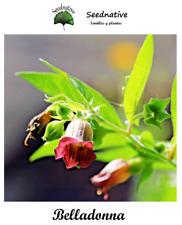 Atropa belladonna - Belladona - 250 semillas - Seeds