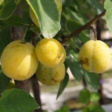 Mirabellenbaum Nancy Mirabelle schwachwachsend Zwergobst 120-150 cm Wangenheims