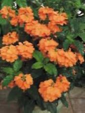Crossandra Orange Marmalade 5 Live Starter Plants Plugs Home & Garden