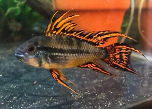 Apistogramma Cacatuoides Triple Red Male/Female Pair
