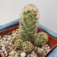 Unusual Mammillaria Elongate Cooper King cactus succulent live plant #21x