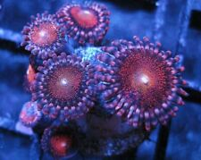 Mowhak Zoanthid Coral