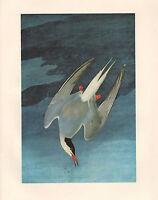 VINTAGE JOHN JAMES AUDUBON BIRD PRINT ~ ARCTIC TERN