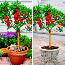 New ListingBonanza Peaches Peach Tree Garden Fruit Plants Bonsai Free Shipping 10 Pcs Seeds