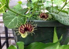 Aristolochia fimbrata 10 seeds