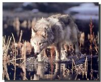 Gray Wolf Hunts in Water Wildlife Animal Wall Decor Art Print Poster (16x20)