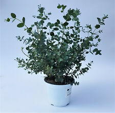 Eukalyptus gunnii Eucalyptus PT 14 cm / 1627393721