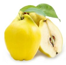 Very Delicious Juicy & Aromatic / Giant Quince Tree 7-Finest Seeds / UK Seller