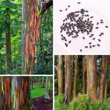 Rainbow Eucalyptus approximate 50 seeds *Eucalyptus deglupta*Rare new style