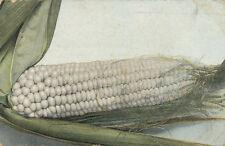 Large Ear of White Corn  * 1913 Post Card * Farm Vegetable
