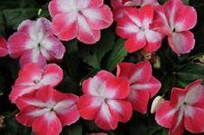 50 Impatiens Seeds Elfin Red Starburst Flower Seeds
