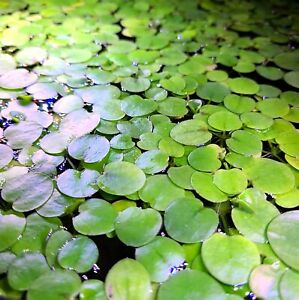8 Amazon Frogbit **BUY 3 GET 1 FREE** Live floating plant aquatic aquarium pond