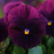 Pansy Seeds 15 Seeds Cool Wave Purple (HANGING PANSY) Coolwave Pansy