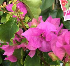 TOM THUMB Bougainvillea Dwarf mauve-pink flowers plant in 140mm pot