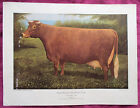 RARE VINTAGE ROSS BUTLER PRINT DUAL-PURPOSE SHORTHORN COW. TAKE A LOOK!
