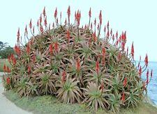 Aloe Arborescens kranz vera healing medicinal succulent rare plant seed 50 SEEDS
