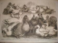 Prize birds at the Birmingham Poultry Show 1865 print ref E